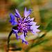 Centaurea Cyanus (film)