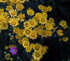 Chrysanthemum rubellum 'Bolero', 2017