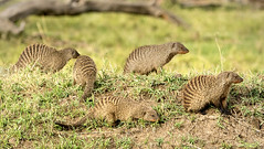 Pack or Mob of Mongooses