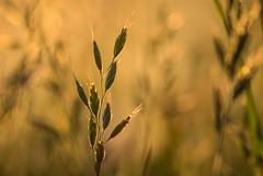Grass at first light