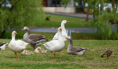 Hahndorf Geese