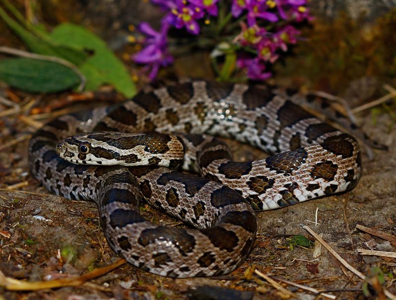 Great Plains Rat Snake (Pantherophis emoryi)
