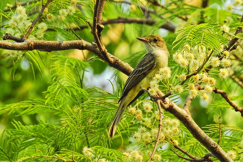 Cristolino Lodge: Swainson's Flycatcher