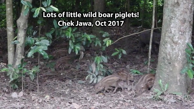 Wild boar with piglets (Sus scrofa)