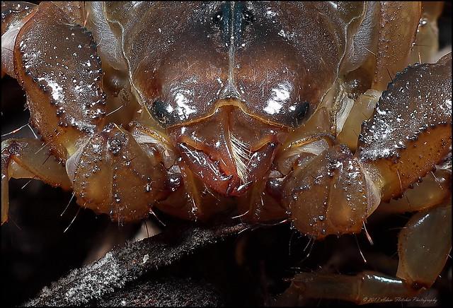 13 x Urodacus manicatus 100%