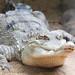 Short Nosed Crocodile