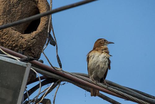 Pantanal: Rufous Hornero & Nest