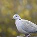 Collard dove in the Garden