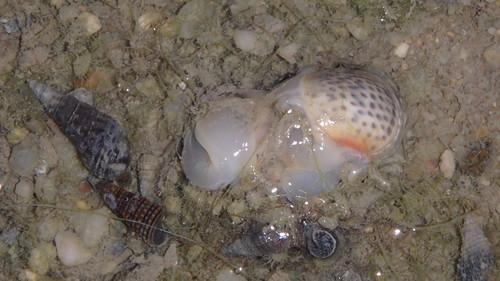 Tiger moon snail (Notocochlis tigrina)
