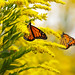 Nectaring Monarchs by Wildphotography - Barry Rowan
