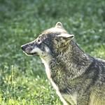 2017:10:01 15:38:25 - Wolf im Sonnenschein