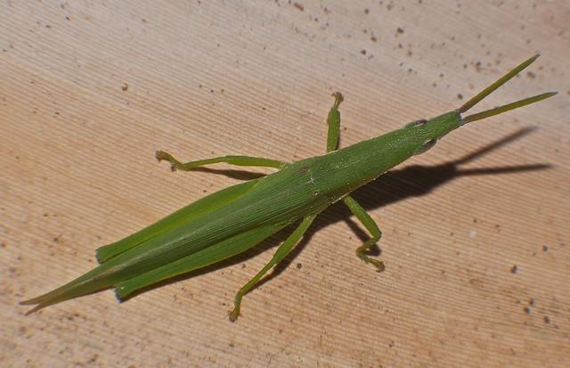 Green pyrgomorph grasshopper Atractomorpha sp Pyrgomorphidae Airlie Beach P1060724
