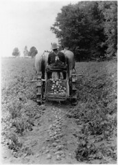 Horse drawn potato digging machine on a farm in Egbert, Ontario