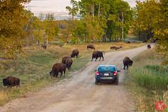 Bison Loop safari