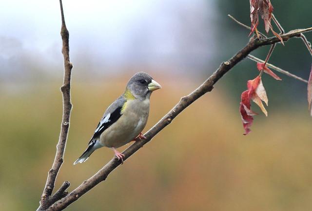 Evening Grosbeak (female ) / Gros-bec errant (femelle )