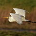 great white egret 1 2017 in flght
