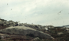 Gullery on Samson Island, Scilly