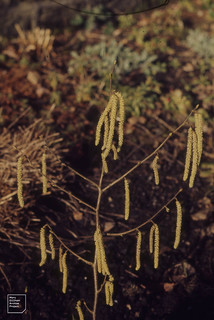 5 inch long hazel catkins. Tongwynlais quarry. February 1972
