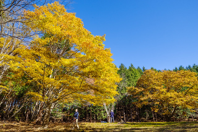 大カエデの黄葉を編み上げる登山者@ウノタワ