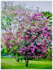 Bauhinia purpurea (Orchid Tree, Purple Bauhinia, Butterfly Tree, Hawaiian/Purple Orchid Tree, Camel's Foot Tree) can grow up to 5.2 m tall and spread as wide with drooping branches, 18 Oct 2017