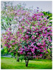 Bauhinia purpurea (Orchid Tree, Purple Bauhinia, Butterfly Tree, Hawaiian/Purple Orchid Tree, Camel's Foot Tree)
