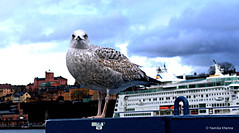 A Seagull in Stockholm by Yavnika