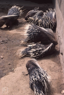 Long-quilled porcupine Kano zoo