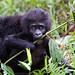 Infant Mountain Gorilla, Bwindi Impenetrable Forest - Uganda by Giovanni Mari
