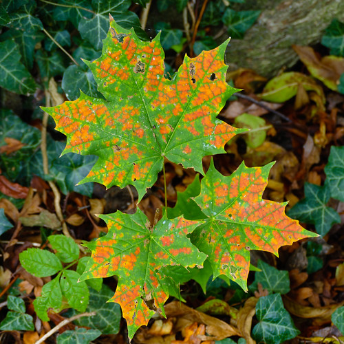 Autumn leaves: maple shoot, Bridgnorth