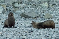 Fur Seals, Jenny Island