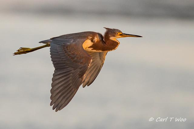 Tri-colored Heron Flying Over Bolsa Chica
