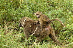 Olive Baboons (Papio anubis) in Ngorongoro Crater, Tanzania
