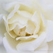 White Rose (I), 10.4.17