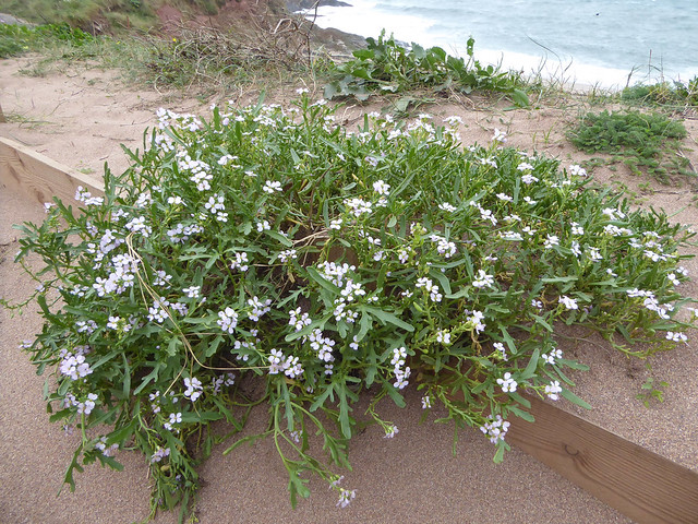 Sea Rocket at Leas Foot Sands