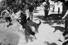 Village dogs fight
