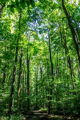 Michiana forest