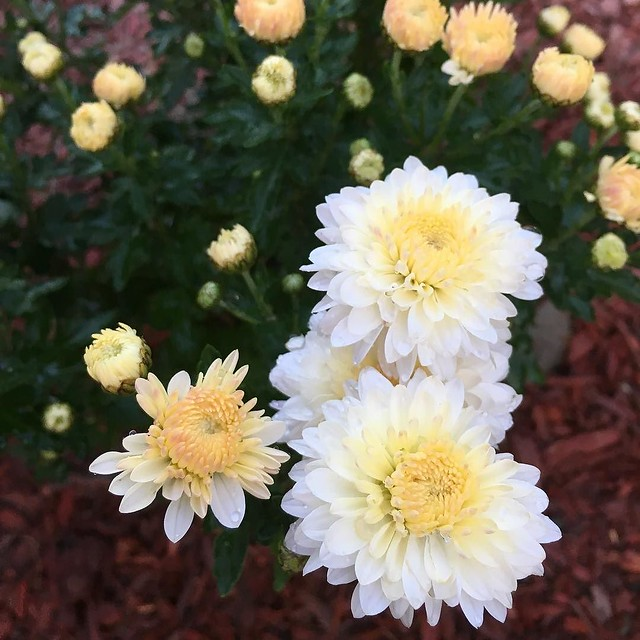Um. The mum I got last year is blooming this year? Is this a new perennial kind?