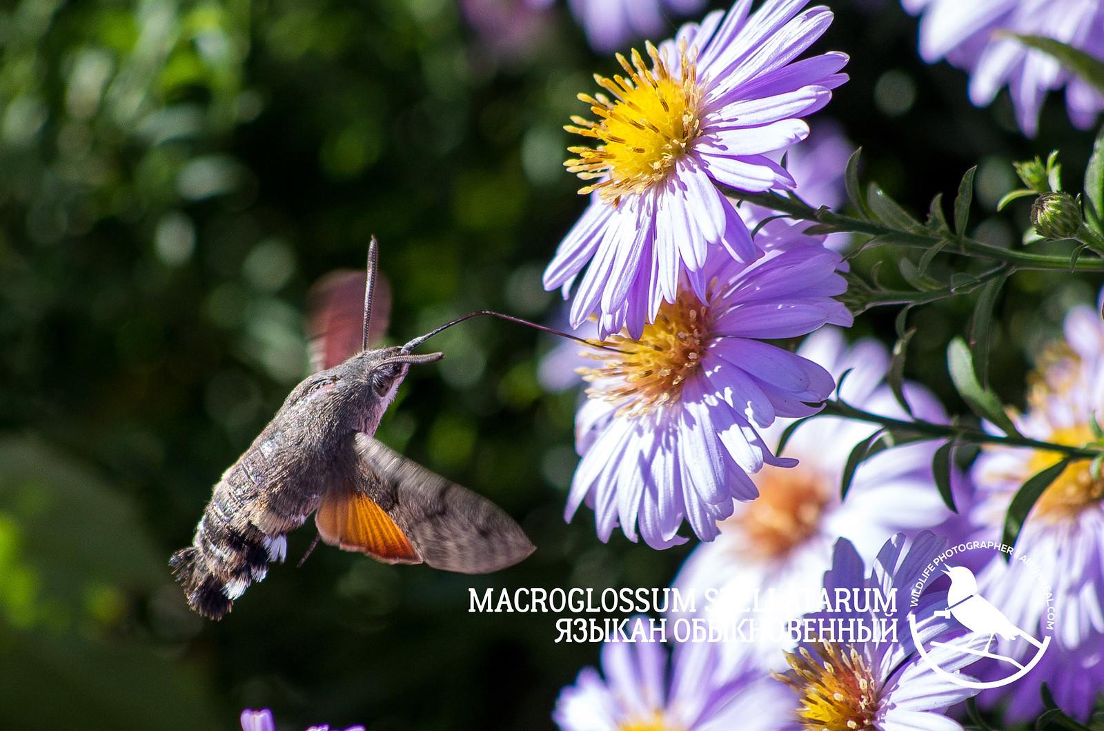 Macroglossum stellatarum // 20171011