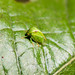 Small photo of Three-cornered alfalfa hopper
