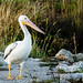 American White Pelican by corkemup52