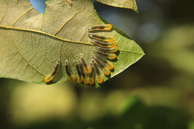 Oak Slug Sawflies