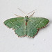 Common Emerald, Haig, Cumbria, England
