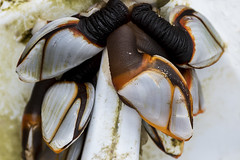 Common goose barnacles