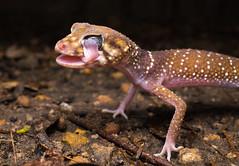 barking gecko (Underwoodisaurus milli)