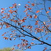Small photo of Amelanchier lamarckii