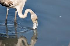 jonge flamingo spiegel-0180