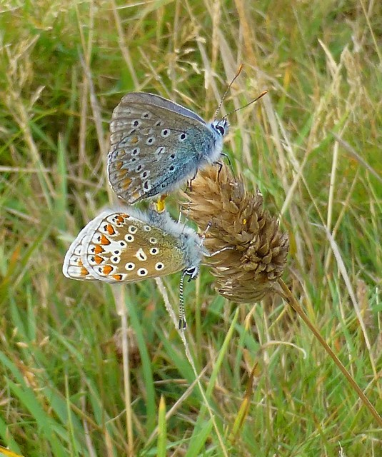 Common Blue Butterflies, Pembrokeshire, Wales