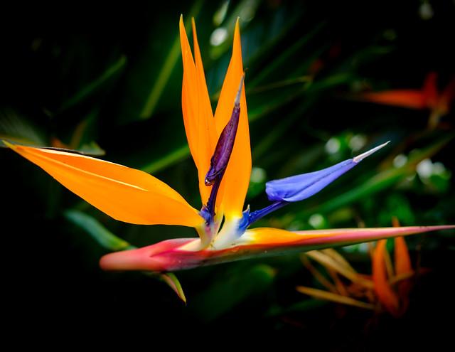 Bird of Paradise Flower, NYBG