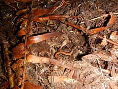 western red-backed salamander, Rockport State Park
