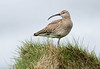 Whimbrel by gillywizz